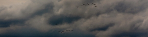 Storks in flight, Poland; 03-05-14